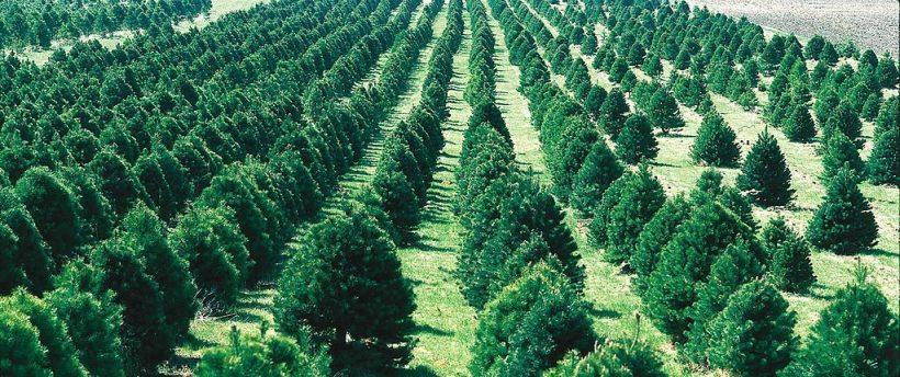 1024px-christmas_tree_farm_ia